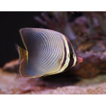 Chaetodon baronessa – Βaroness Βutterflyfish