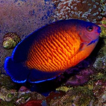 Centropyge bispinosus M – Coral Beauty Angelfish