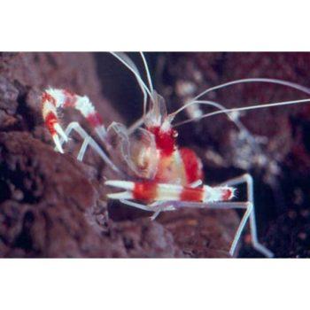Stenopus hispidus M
