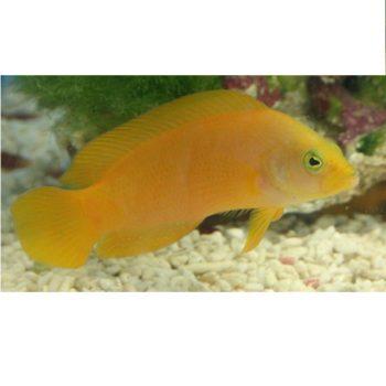 Pseudochromis aureus
