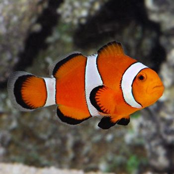 Amphiprion ocellaris – 0 Percula Clownfish