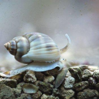 Nassarius sp.