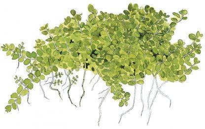 Tropica Hemianthus callitrichoides 'Cuba' 1-2-Grow!