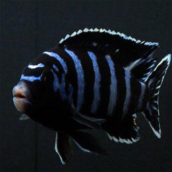 Chidongo demasoni – Demanson's cichlid 4-5cm