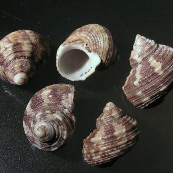 Turbo brunneus (M)