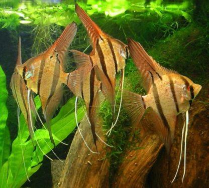 Pterophyllum altum – Altum Angelfish