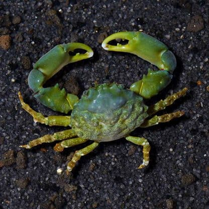 Mithrax sculptus – Emerald Crab