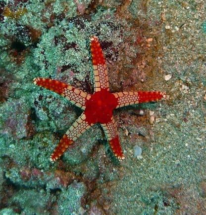 Fromia monilis – Necklace starfish