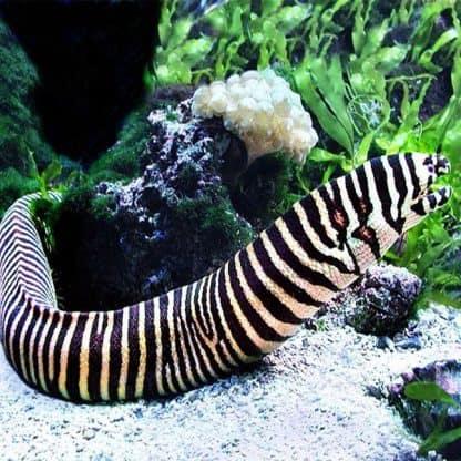 Gymnomuraena zebra m