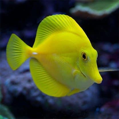Zebrasoma flavescens Xl – Yellow Tang
