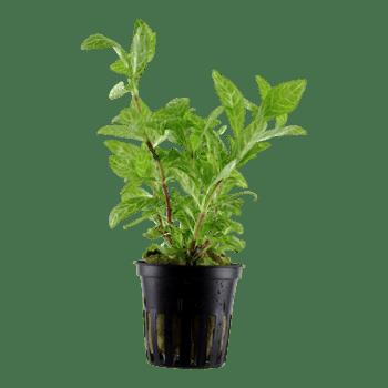 Tropica Hygrophila Polysperma 'rosanervig'
