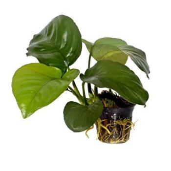 Tropica Anubias Barteri Var Caladifolia