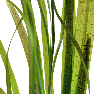 "Tropica Vallisneria Spiralis ""Tiger"""