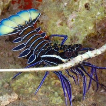 Panulirus versicolor – Commom Rock Lobster