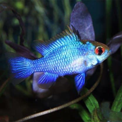 Mikrogeophagus ramirezi – el. blue