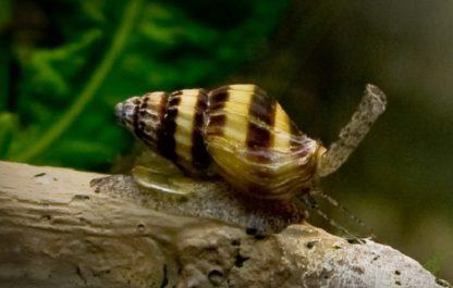 Assasin Snail