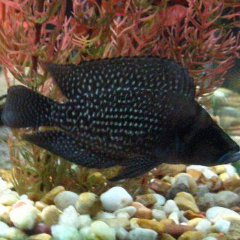 Altolamprologus Calvus Congo black