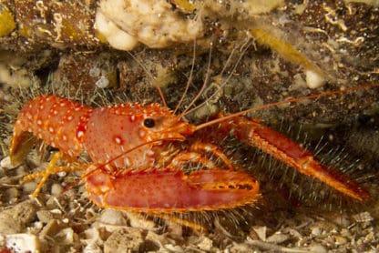Enoplometopus occidentalis
