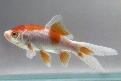 Carassius auratus – Assorted Goldfish