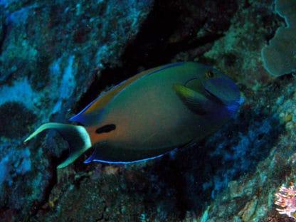 Acanthurus Fowleri