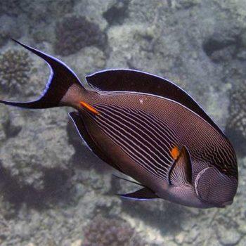 Acanthurus sohal S