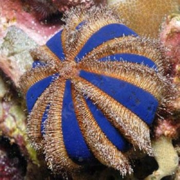 Mespillia globulus – Tuxedo Urchin
