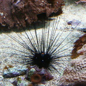 Diadema urchin – sp. m
