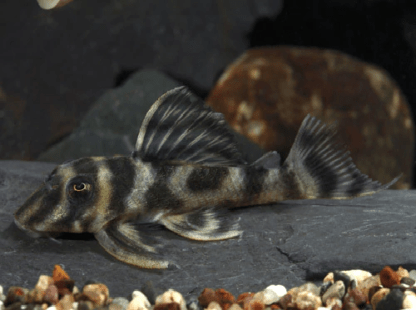 Hypancistrus sp. – False Zebra Pleco L173