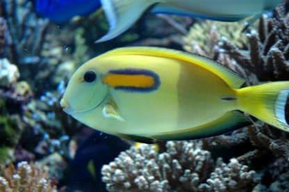 Acanthurus olivaceus M – Orange Band Surgeonfish