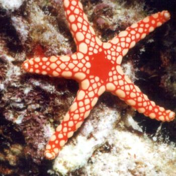Fromia elegans – Red Starfish