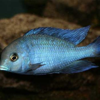Cryptocara Moori – Blue Dolp...