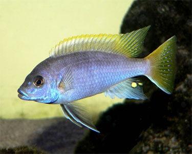 Pseudotropheus acei – Yellow-Tail Acei