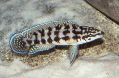 Julidochromis transcriptus – Masked Julie Cichlid