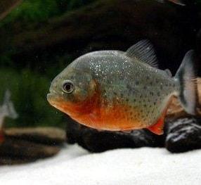 Red belly piranhas