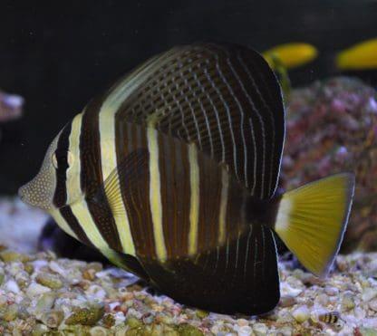 Zebrasoma veliferum s