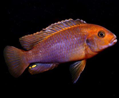 Iodotropheus sprengerae – Rusty Cichlid