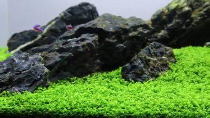 Tropica Micranthemum 'Monte Carlo' 1-2-Grow!