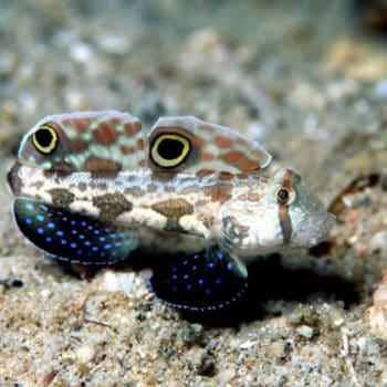 Signigobius biocellatus – Two Spot Goby