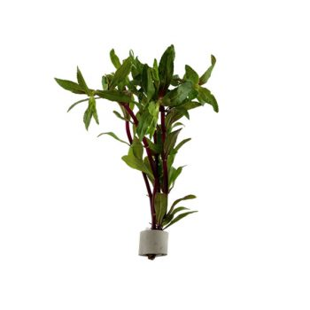 Tropica Limnophila aromatica