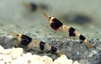 Caridina sp.  – Crystal Black Shrimp