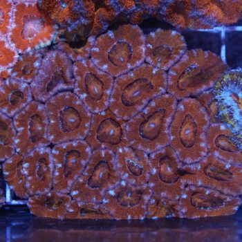 Acanthastrea (cut to order) C32