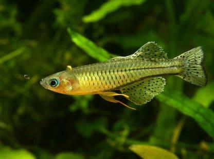 Pseudomugil gertrudae – Spotted Blue-eye
