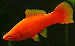 Xiphophorus Helleri swordtail red (Hifin)