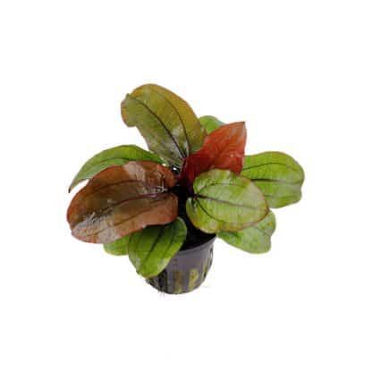 """Tropica Echinodorus """"Reni"""""""
