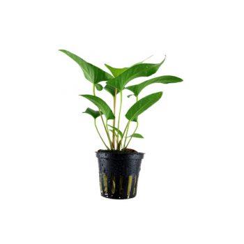 Tropica Anubias Gracilis