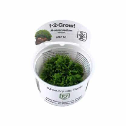 Tropica Monosolenium tenerum 1-2 GROW