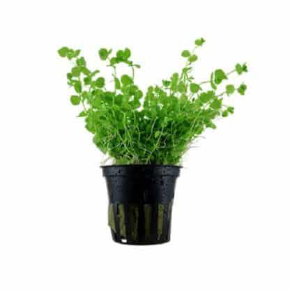 Tropica Micranthemum Umbrosum