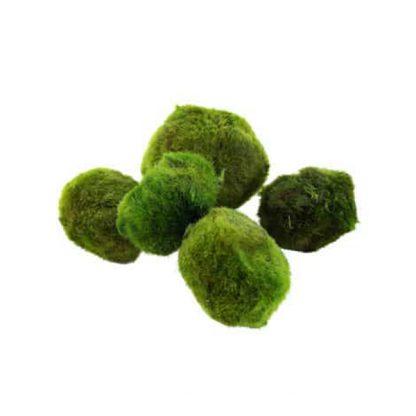 Tropica Cladophora Aegagropila Moss Ball