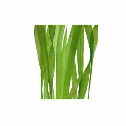 "Tropica Valisneria ""Asiatica"""
