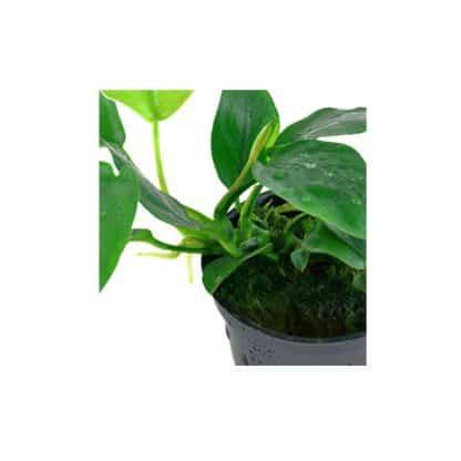 Tropica Anubias barteri nana